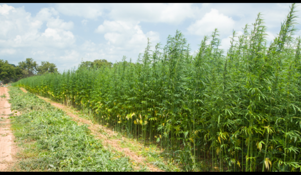 Hemp in the Field